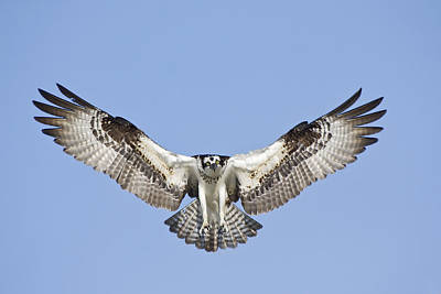 Poster featuring the photograph Osprey In Flight by Bob Decker