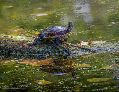 Painted Turtle Reflection Poster