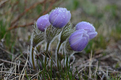 Pasque Flowers  Poster