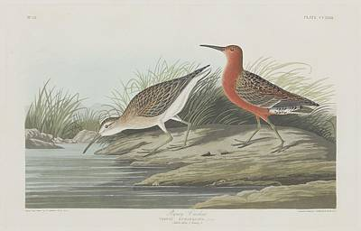 Pigmy Curlew Poster by Rob Dreyer