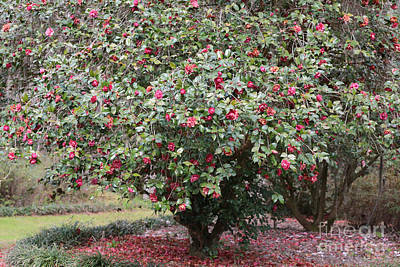 Pink Camellia Tree Poster