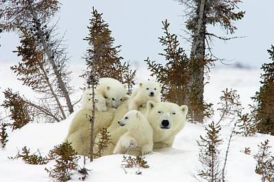 Polar Bear Ursus Maritimus Trio Poster