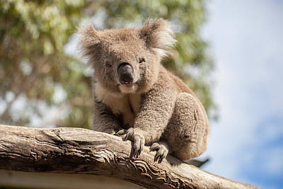 Portrait Of Koala Sitting On A Branch Poster
