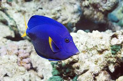 Powder-blue Tang Poster
