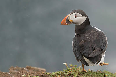 Puffin Poster by Ian Hufton
