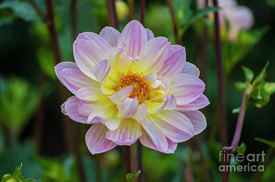 Purple And Yellow Dahlia Poster by Mandy Judson