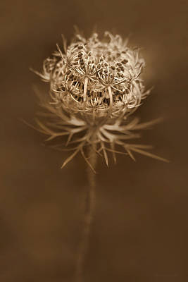 Queen Anne's Lace Wildflower Seed Pods Poster