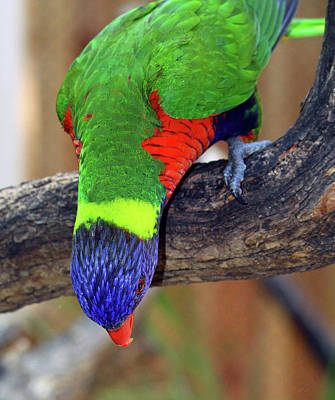 Rainbow Lorikeet Poster by Inspirational Photo Creations Audrey Woods