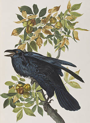 Raven Poster by John James Audubon