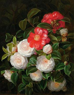 Red And White Camellias Poster