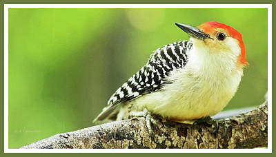 Red Bellied Woodpecker, Male, Animal Portrait Poster