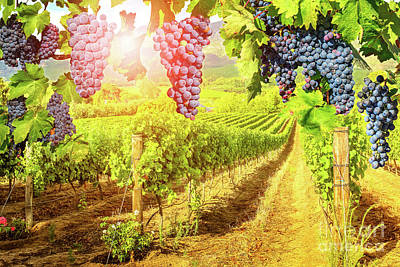 Red Grapes Hanging In Vineyard Poster