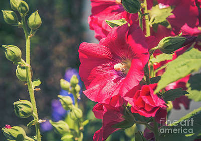 Red Hollyhock Poster by Cheryl Baxter