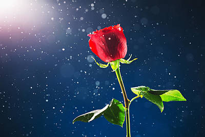 Red Rose On Snow Background Poster by Valentin Valkov