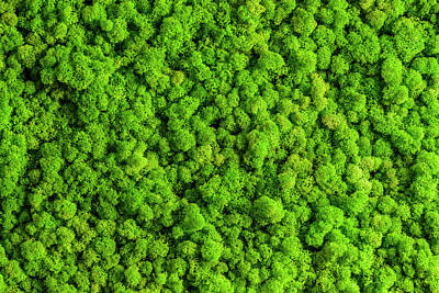Reindeer Moss Wall, Green Wall Decoration, Lichen Cladonia Rangi Poster by Andrej Safaric