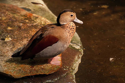 Ringed Teal On A Rock Poster by Chris Flees