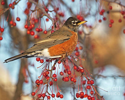 Poster featuring the photograph Robin.. by Nina Stavlund