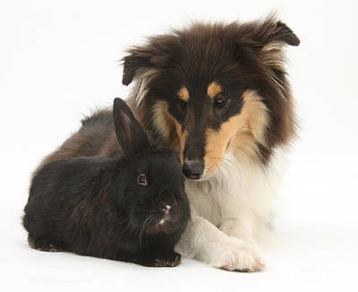 Rough Collie With Black Rabbit Poster by Mark Taylor