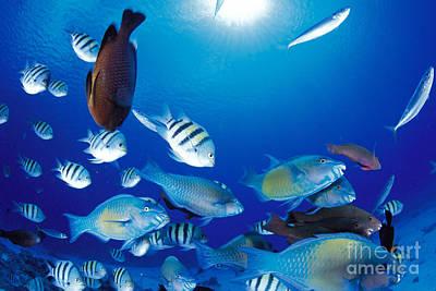 Saipan Marine Life Poster by Dave Fleetham - Printscapes