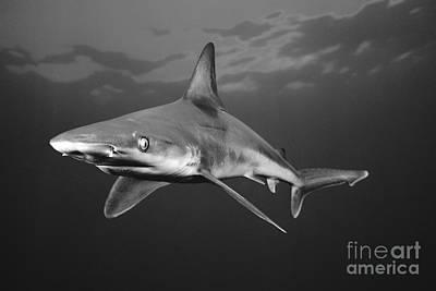 Sandbar Shark Poster by Dave Fleetham - Printscapes