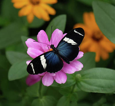 Sara Longwing Butterfly Poster