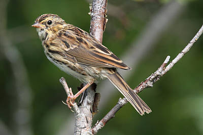 Savannah Sparrow Poster