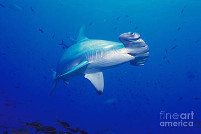 Scalloped Hammerhead Shark Poster by Ed Robinson - Printscapes