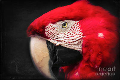 Scarlet Macaw - Ara Macao Poster by Sharon Mau