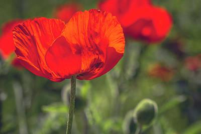 Scarlet Poppies Poster by Teri Virbickis