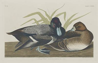 Scaup Duck Poster by Rob Dreyer
