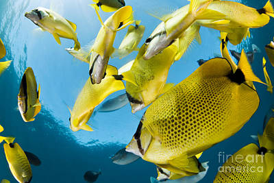 Schooling Butterflyfish Poster