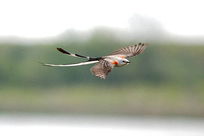 Scissor-tailed Flycatcher In Flight Poster