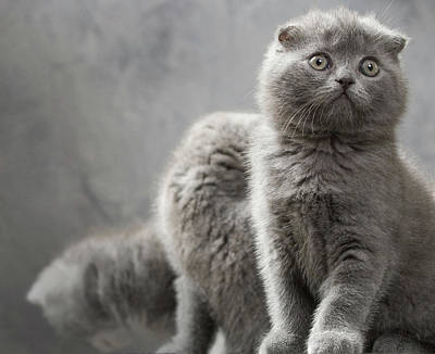Scottish Fold Cats Poster