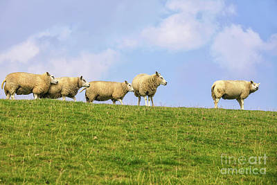 Poster featuring the photograph Sheep On Dyke by Patricia Hofmeester