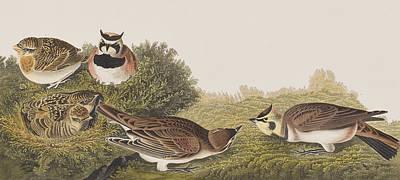 Shore Lark Poster by John James Audubon