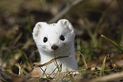 Short-tailed Weasel Mustela Erminea Poster