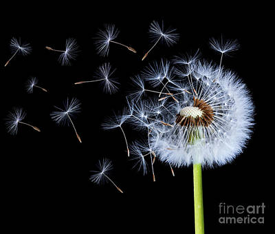 Silhouettes Of Dandelions Poster by Bess Hamiti