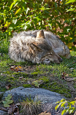 Poster featuring the photograph Sleeping Timber Wolf by Michael Cummings