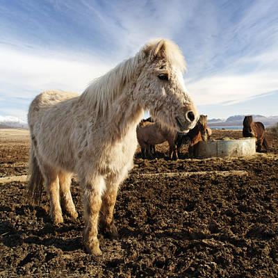 Smiling Icelandic Horse Poster by Francesco Emanuele Carucci