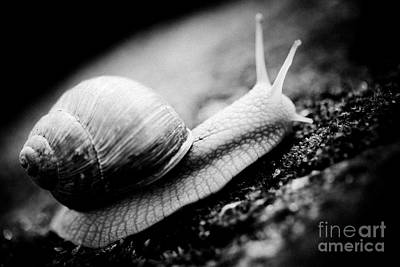 Snail Crawling On The Stone Artmif Poster