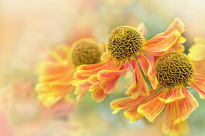 Sneezeweed Poster by Jacky Parker