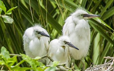 Poster featuring the photograph Snowy Egret Chicks by Paula Porterfield-Izzo