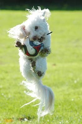 Soccer Dog-4 Poster by Steve Somerville