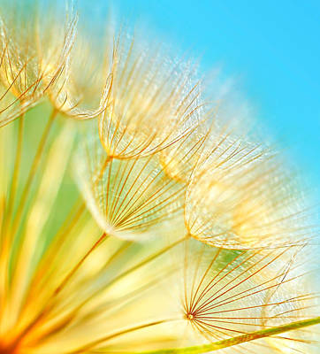 Soft Dandelion Flowers Poster