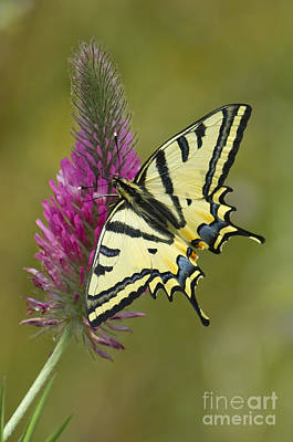 Southern Swallowtail Butterfly Poster by Steen Drozd Lund