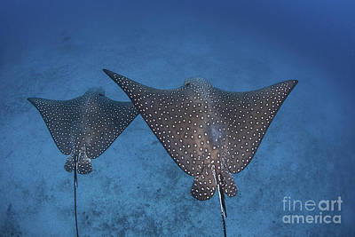 Spotted Eagle Rays Swim Poster by Ethan Daniels