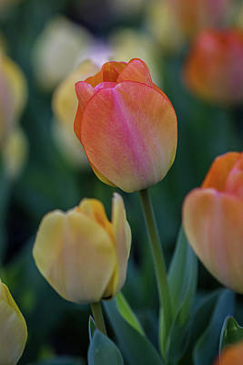 Spring Tulip Poster