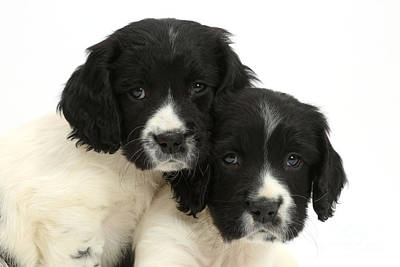 Springer Spaniel Puppies Poster by Mark Taylor