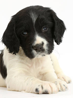 Springer Spaniel Puppy Poster by Mark Taylor