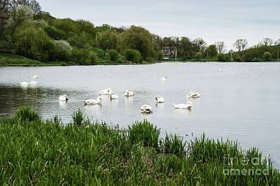 Staya White Birds Swans.  Poster by Oleksandr Masnyi